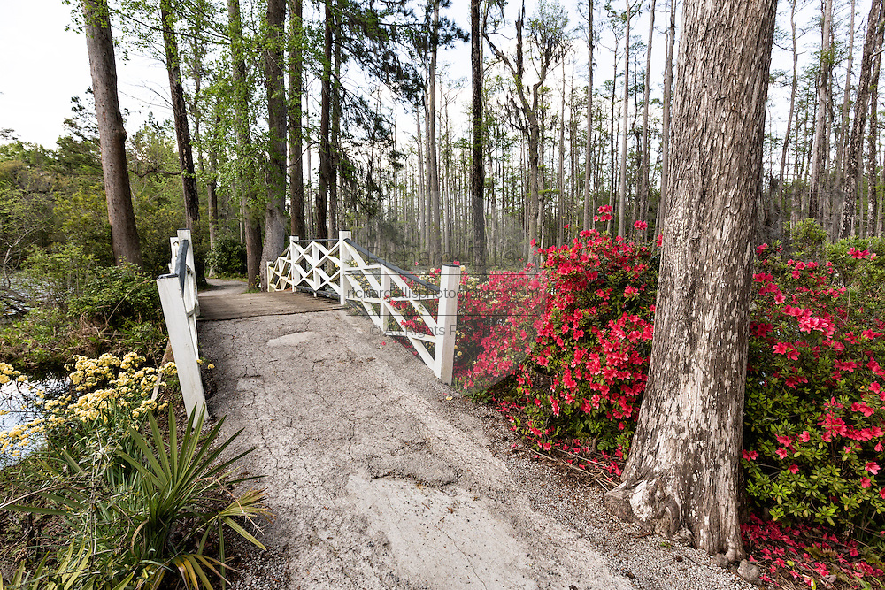 Azaleas blooming along the blackwater bald cypress and tupelo swamp during spring at Cypress Garden April 9, 2014 in Moncks Corner, South Carolina.