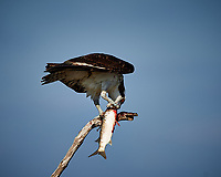 Osprey with a Fish. Biolab Road, Merritt Island National Wildlife Refuge. Image taken with a Nikon D4 camera and 500 mm f/4 VR lens (ISO 180, 500 mm, f/5.6, 1/1000 sec).