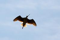 Shorebird on the Prairie East of Calgary<br /> <br /> ©2015, Sean Phillips<br /> http://www.RiverwoodPhotography.com