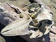 The bleached, decaying skull of a (likely) long-finned pilot whale (Globicephala melas) found on the beach at Mason Bay, Stewart Island (Rakiura), New Zealand.