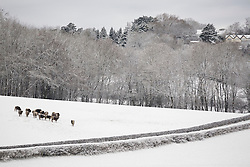 © Licensed to London News Pictures. 17/01/2016. Woldingham, UK. Cattle gather in a snow covered field near Woldingham in Surrey today (17/01/2016) after snow hit parts of the UK for the first time this winter. Photo credit: Matt Cetti-Roberts/LNP