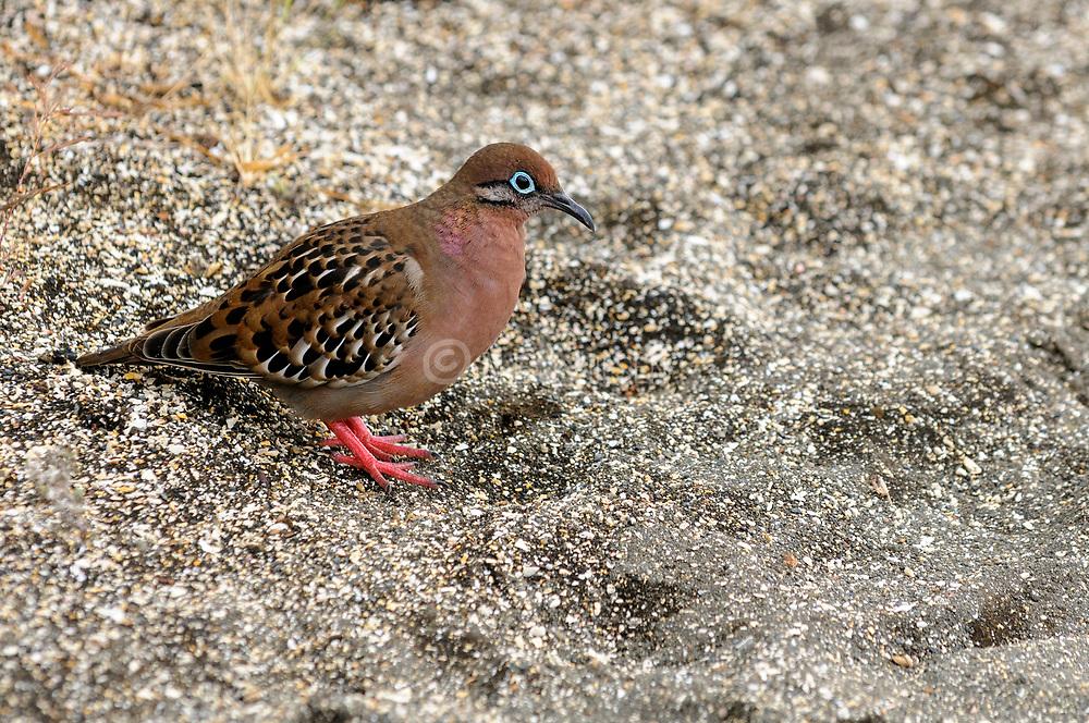 Galapagos dove (Zenaida galapagoensis) from Puerto Egas, Santiago island, Galapagos.