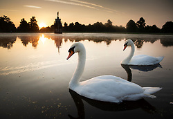 © Licensed to London News Pictures. 24/06/2020. London, UK. Swans at first light in Bushy Park, south west London. High temperatures and sunshine are expected in most of the UK over the next few days. Photo credit: Peter Macdiarmid/LNP
