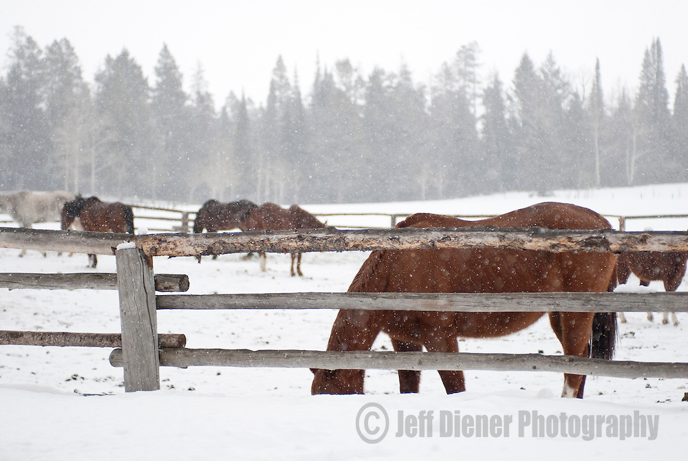 Horses wander the corral at a ranch in Jackson Hole, Wyoming.