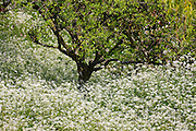 Cow parsley, perennial wildflower Queen Anne's Lace (Anthriscus sylvestris) in woodland The Cotswolds, Gloucestershire