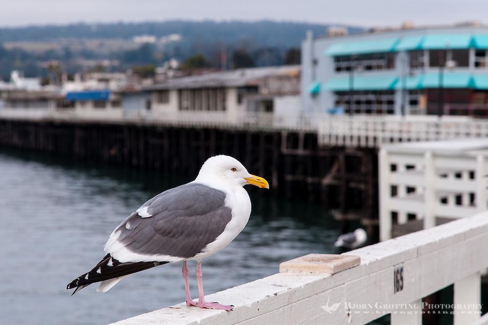 United States, California, Santa Cruz. The Santa Cruz Wharf. A Western Gull.