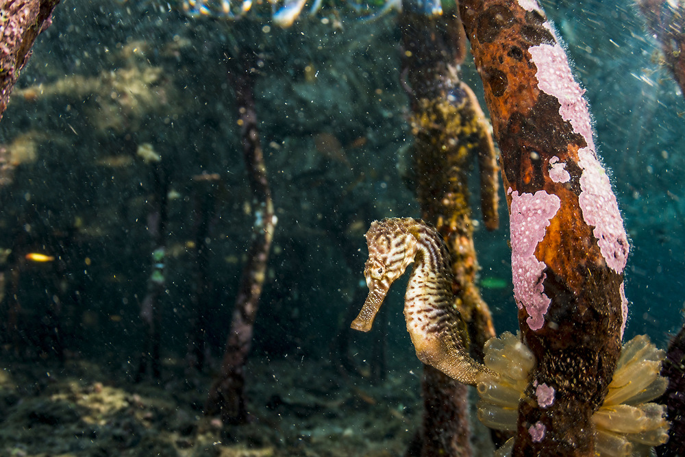 A lined seahorse (Hippocampus erectus) holding onto a red mangrove root in an alkaline pond in The Bahamas.