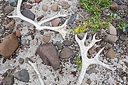 Bleached caribou antlers (Rangifer tarandus) on the groud near Skolai Pass, Wrangell-St. Elias National Park, Alaska.