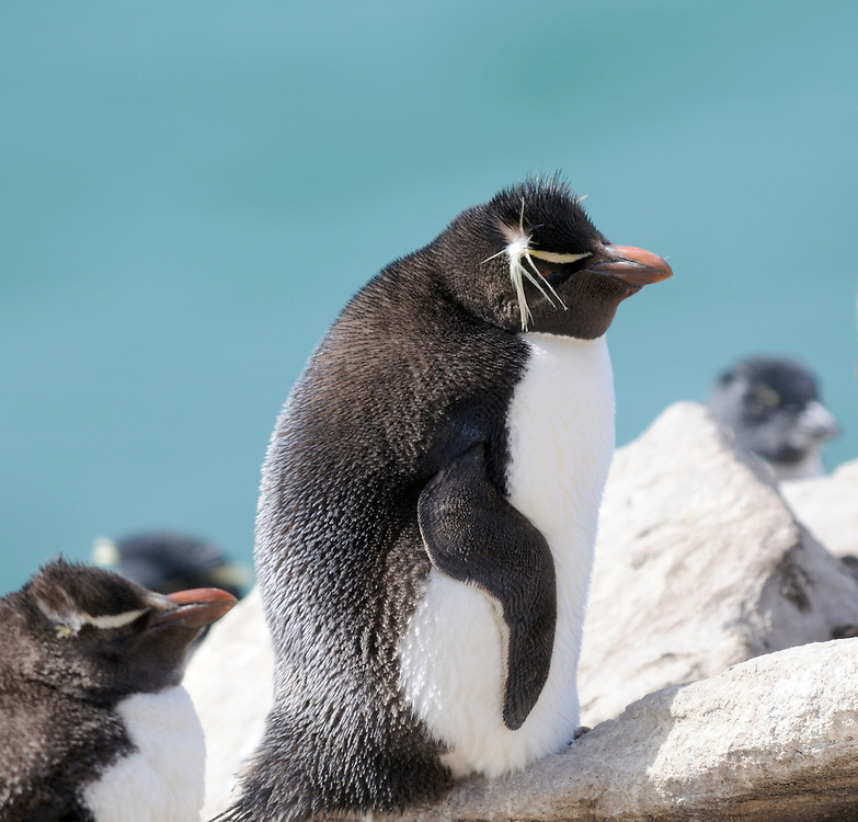 Southern rockhopper penguin, Eudyptes (chrysocome) chrysocome at the nesting colony on Saunders Island. Saunders Island, Falkland Islands. 15Feb16
