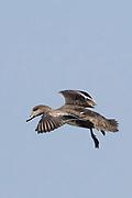 Female American Wigeon Duck landing.(Anas americana).Back Bay Reserve,California