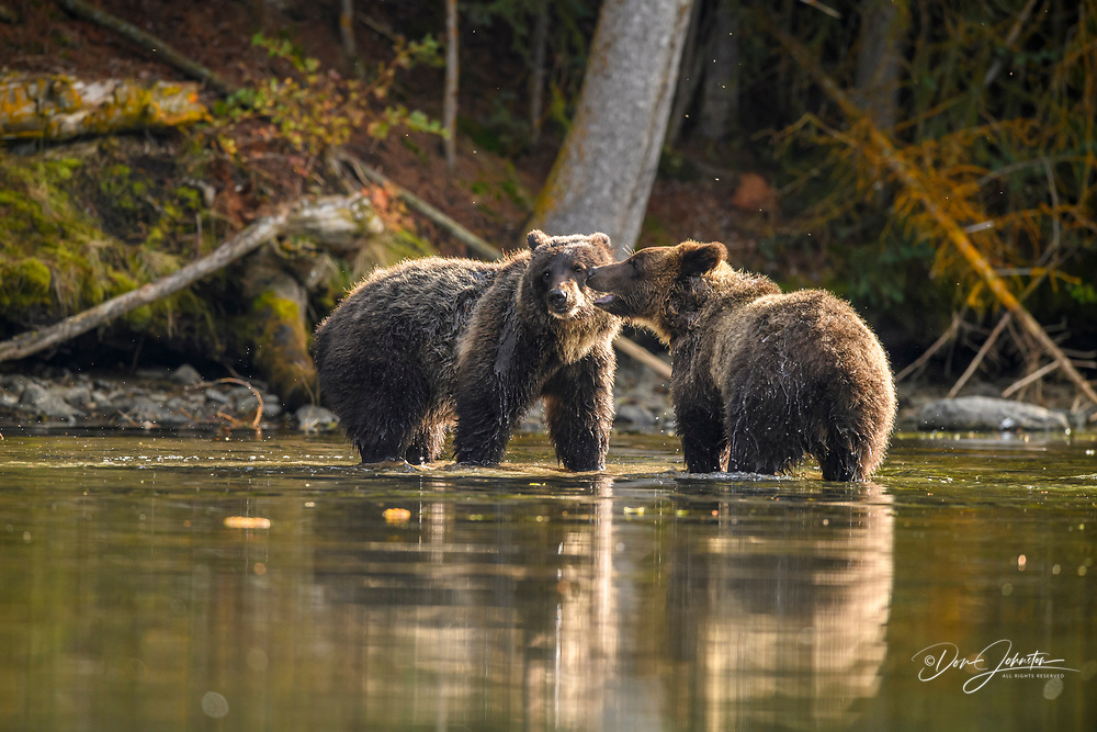 Grizzly bear (Ursus arctos)- Yearling cubs interacting and playfighting along the Chilko River, Chilcotin Wilderness, BC Interior, Canada, Chilcotin Wilderness, BC Interior, Canada