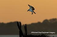 00783-01811 Osprey (Pandion haliaetus) landing at nest at sunset Rend Lake Jefferson Co. IL