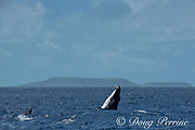 humpback whale calf, Megaptera novaeangliae, does a lazy breach next to a group of snorkelers, Vava'u, Kingdom of Tonga, South Pacific