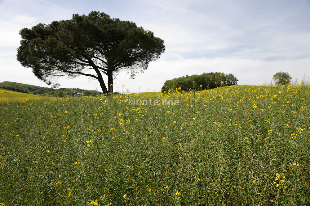 spring time in the Languedoc Aude France foreground is Colza