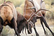 Two Bull Elk Battle for Dominance and Breeding Rights