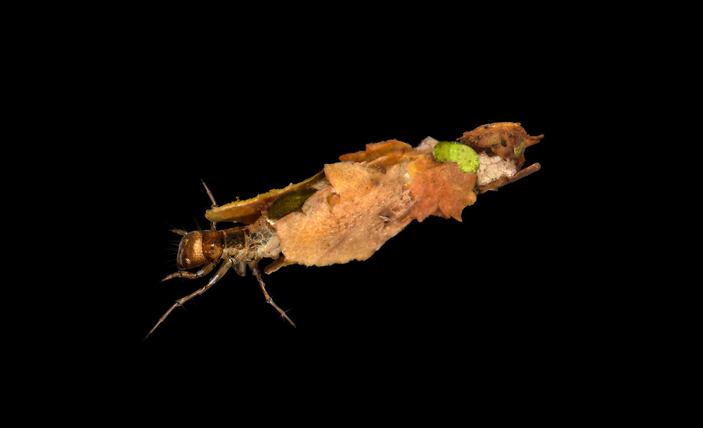 Mottled Sedge - Glyphotaelius pellucidus<br /> caddis fly larva