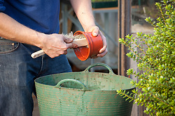 Preparing a greenhouse for winter - washing pots with a brush using a tub trug