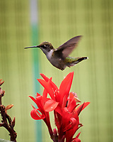 Ruby-throated Hummingbird and Canna flower.Image taken with a Nikon D5 camera and 200-500 mm f/5.6 VR lens.