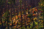 The early part of the day makes all color vivid and the changing of the ninebark color from green to shades of amber, orange and reds lit up the mountainside and canyon walls on the lower Middle Fork of the Salmon River.