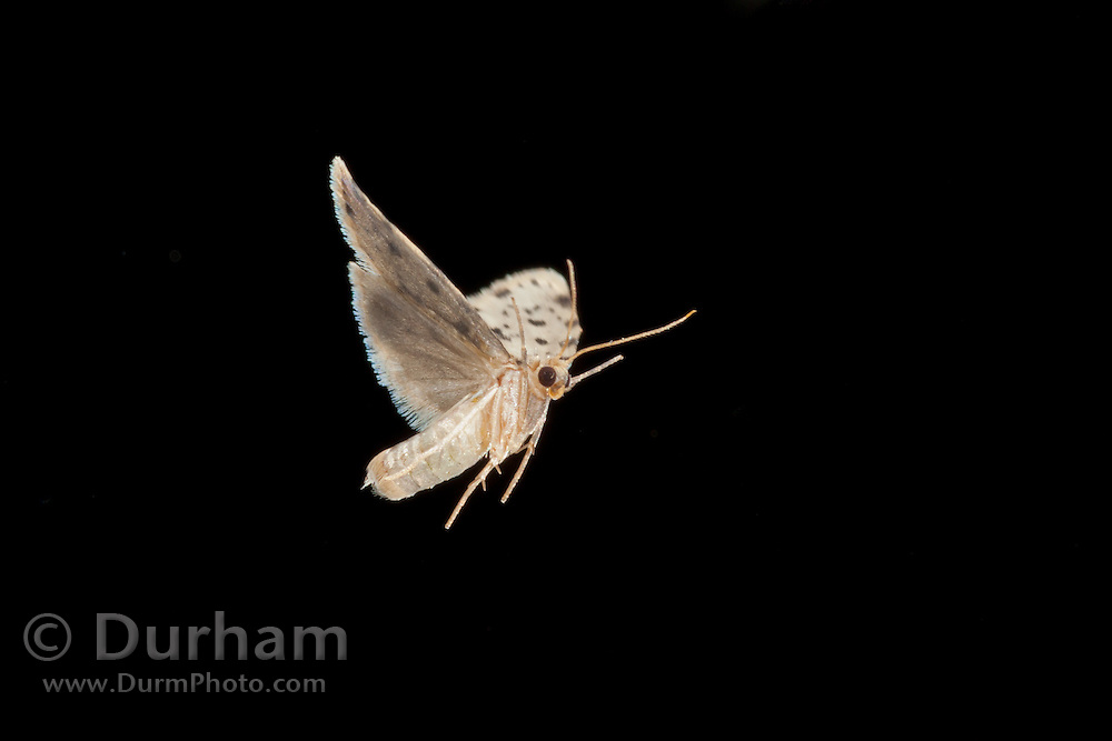 An unidentified moth and other insects attracted to a light at night in Matobo National Park, Zimbabwe. © Michael Durham / www.DurmPhoto.com