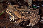 Cane Toad (Bufo marinus) - Tambopata rainforest, jungle  South America.
