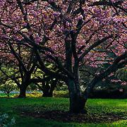 Spring cherry blossom tree in the arboretum in Seattle, Washignton.