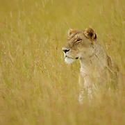 African Lion (Panthera leo) female sitting in the grass. Masai Mara National Reserve, Kenya, Africa