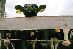 Cows With Ears Tagged