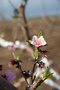 Israel, Galilee, pink Almond blossoms on peach trees in a plantation