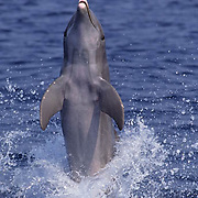 Bottlenose Dolphin (Tursiops iruncatus) jumpting in the water of the Gulf of Mexico near Honduras.  Captive Animal.