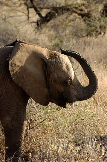African Elephant ( Loxodanta africana) Spraying water on itself. Samburu Game Reserve. Kenya. Africa.
