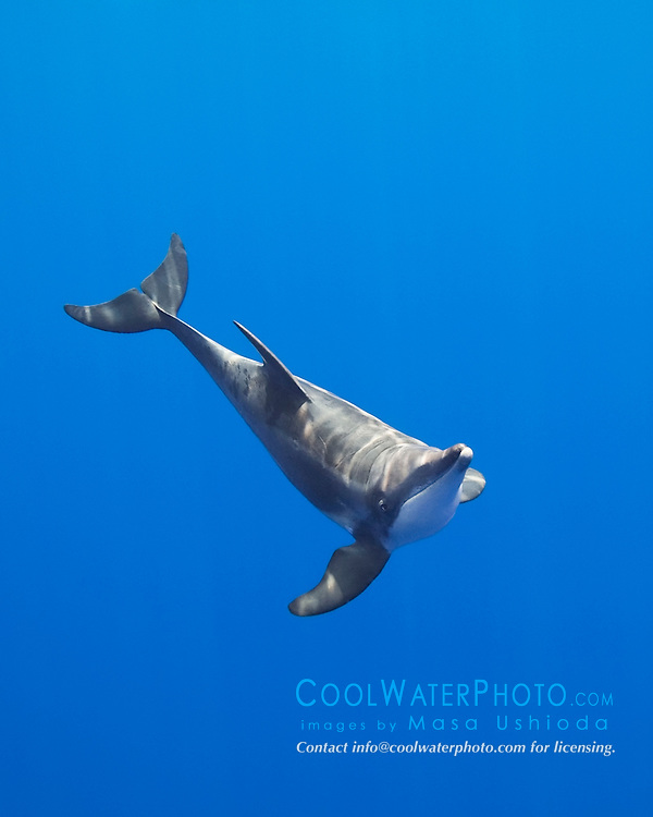 rough-toothed dolphin, Steno bredanensis, analyzing the photographer by using impulse-type (click-type) sonar for precise echolocation and imaging, Kona Coast, Big Island, Hawaii, USA, Pacific Ocean