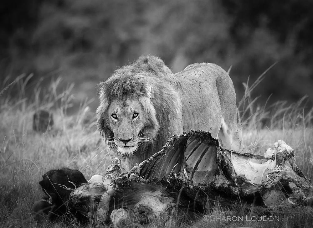 Lion finishes off buffalo breakfast, Maasai Mara, Kenya