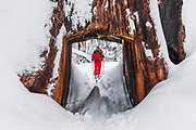 Skier and giant sequoia tunnel tree in the Tuolumne Grove, Yosemite National Park, California USA