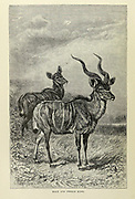Male and female Kudu From the book ' Royal Natural History ' Volume 2 Edited by Richard Lydekker, Published in London by Frederick Warne & Co in 1893-1894
