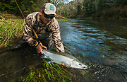"""The spectacular """"black and white"""" of a fresh from the sea buck steelhead."""