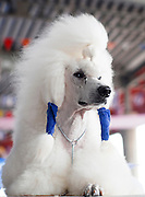 Pedigree Dog - portrait of a white standard poodle