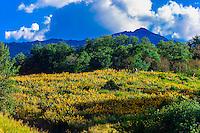 Wildflowers, Rim Creek Trail, Snowmass Village (Aspen), Colorado USA.