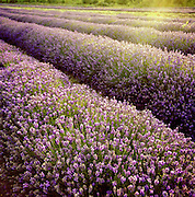 Rows of lavendar plants on a farm in the English countryside, UK