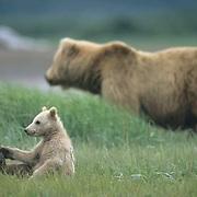 Alaskan Brown Bear, (Ursus middendorffi) Cub sitting touching toes, mother in background, Katmai National Park. Alaska