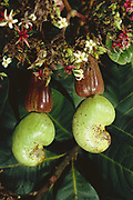 Cashew Nut Fruit<br />