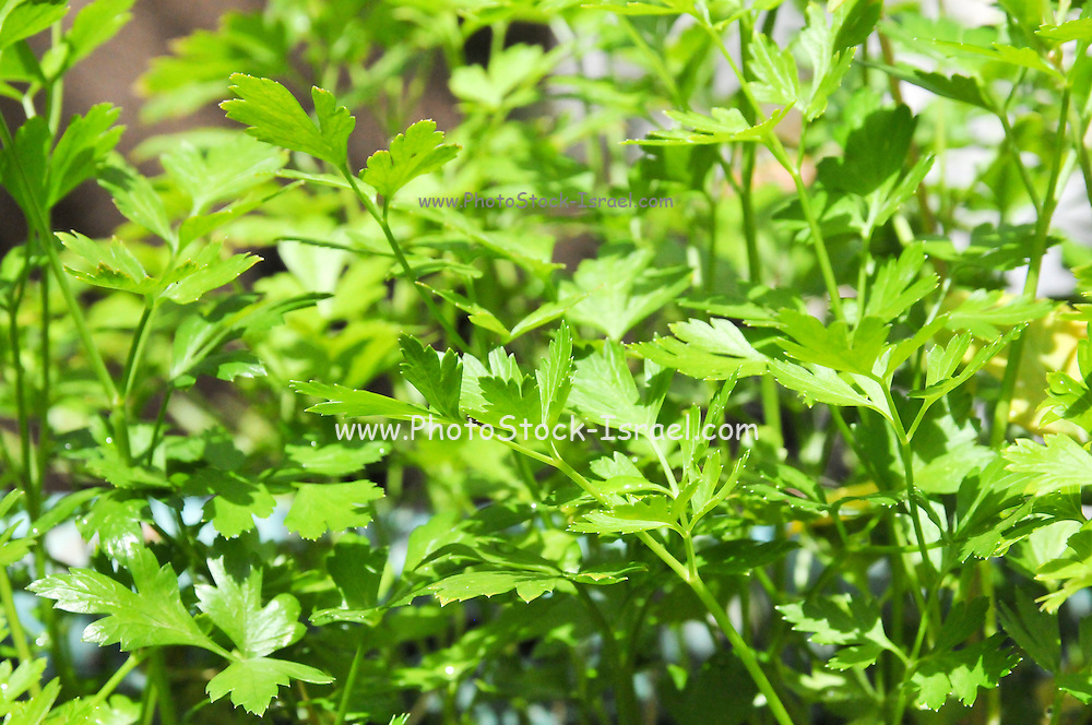 fresh parsley grows in a garden