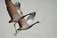 Demoiselle Crane, Grus virgo, photographed in flight in Inner Mongolia, China