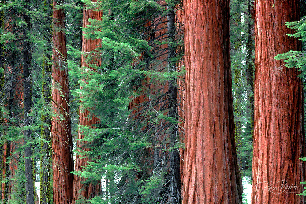Giant Sequoias amid young pines in the Giant Forest, Sequoia National Park, California USA