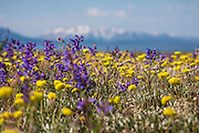 Summer wildflowers in Yellowstone National Park