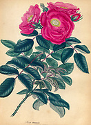 ROSA racemosa, Clustered Rose, or Rose of the four Seasons From the book Roses, or, A monograph of the genus Rosa : containing coloured figures of all the known species and beautiful varieties, drawn, engraved, described, and coloured, from living plants. by Andrews, Henry Charles, Published in London : printed by R. Taylor and Co. ; 1805.