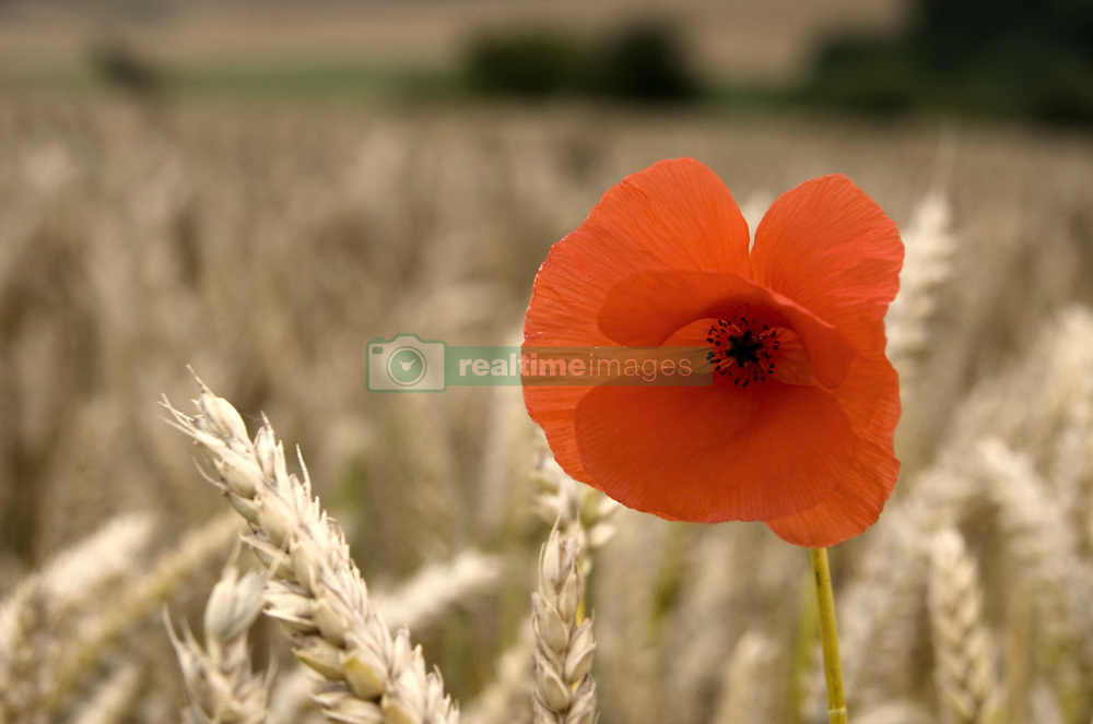 July 21, 2019 - Red Flower In Field (Credit Image: © John Short/Design Pics via ZUMA Wire)