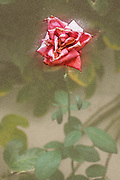 Digitally enhanced image Wilted dying pink rose