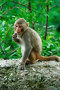 India, Mandi, Kullu District, Himachal Pradesh, Northern India, young Macaca mulatta Monkey