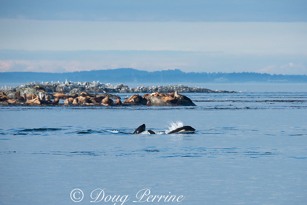 resident orca, or killer whales, Orcinus orca, swim past a mixed colony of Steller sea lions and California sea lions, by Race Rock, off southern Vancouver Island, Strait of Juan de Fuca, Canada